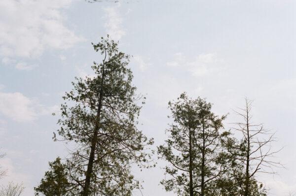 algonquin trees