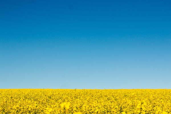 canola views